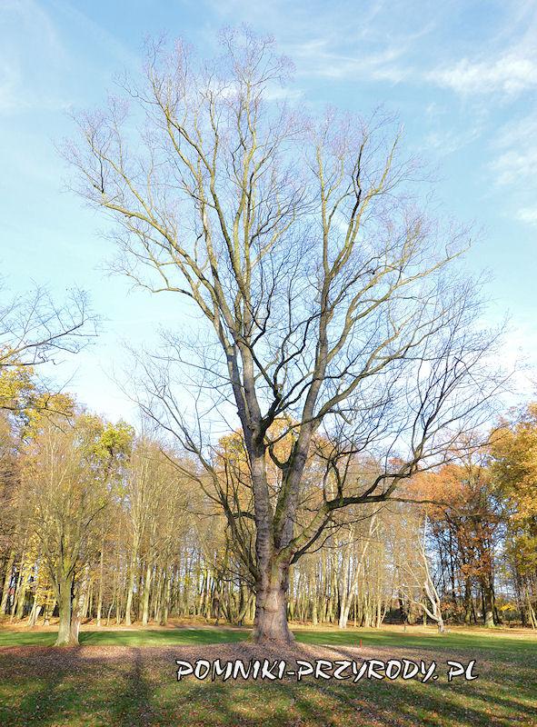 Park Miejski w Sycowie - pomnikowy klon srebrzysty w listopadzie 2020 r.