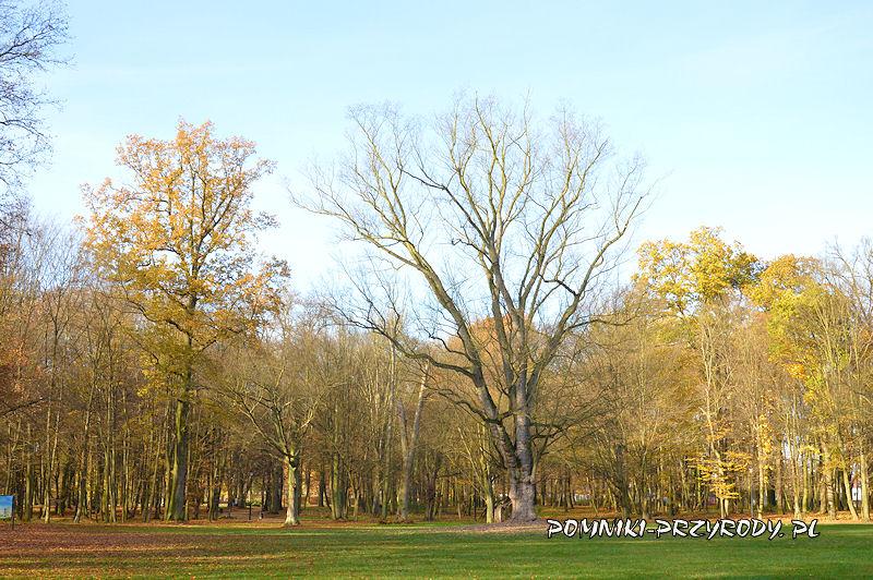 Park Miejski w Sycowie - pomnikowy klon srebrzysty