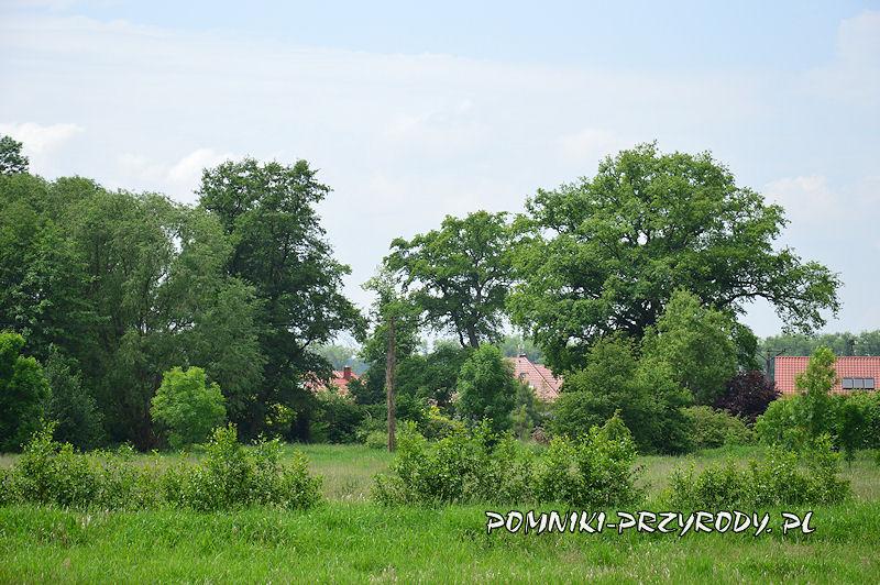 Syców - pomnikowe dęby rosnące na posesji Leśna 1a latem