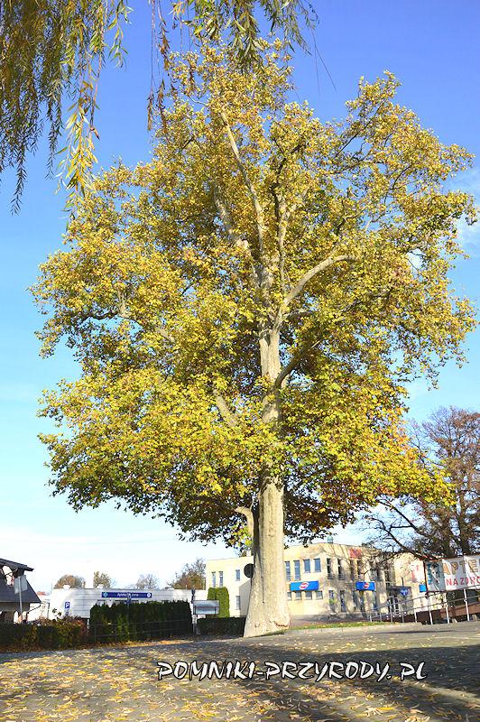 Syców - pomnikowy platan jesienią