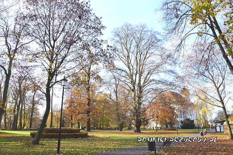 fragment Parku Miejskiego w Sycowie z pomnikowym bukiem