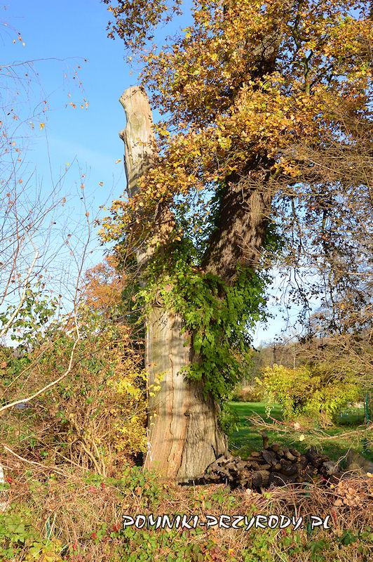 pień pomnikowego dębu rosnącego w ogrodzie posesji Leśna 1a w Sycowie