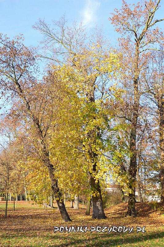 pomnikowy klon jawor z Parku Miejskiego w Sycowie
