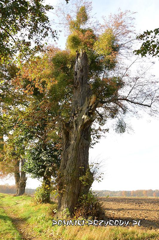 4. Stradomia Wierzchnia - uszkodona lipa w pomnikowej alei
