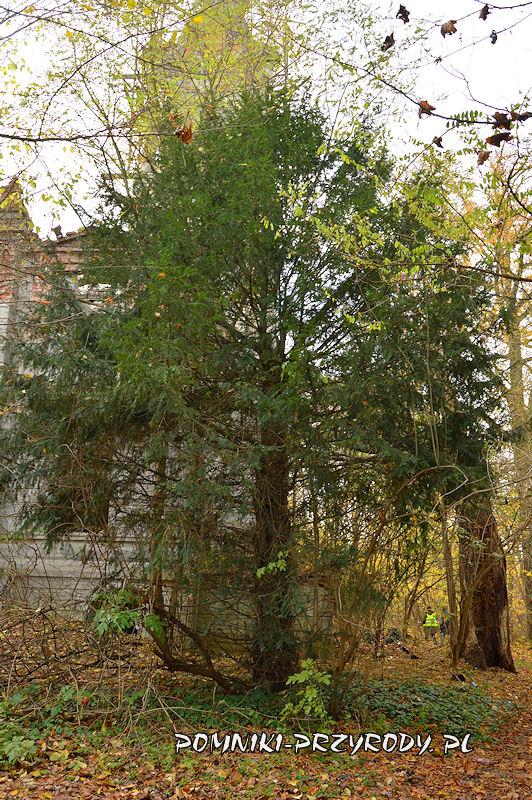 cis rosnący przy pałacu w Stradomii Wierzchniej