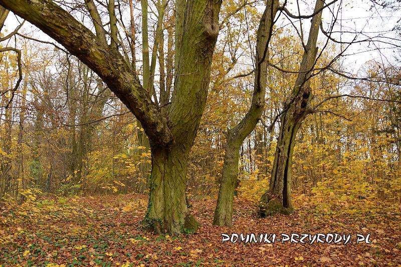 park w Stradomii Wierzchniej - grupa wiekowych grabów