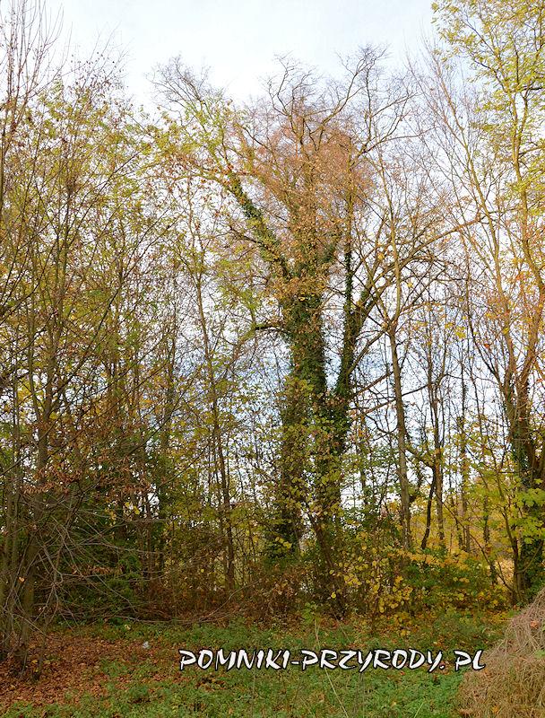 park w Stradomii Wierzchniej - lipa porośnięta bluszczem