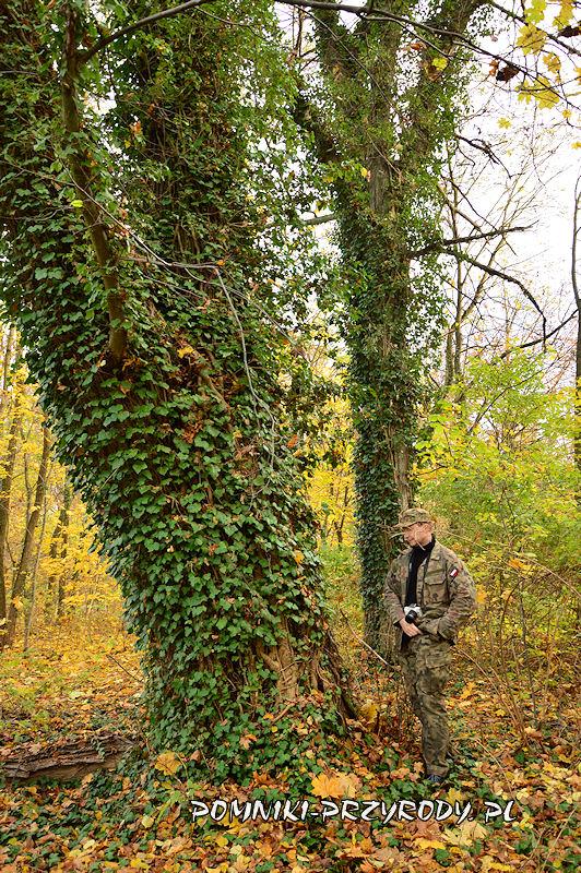 park w Stradomii Wierzchniej - okazała lipa porośnięta bluszczem