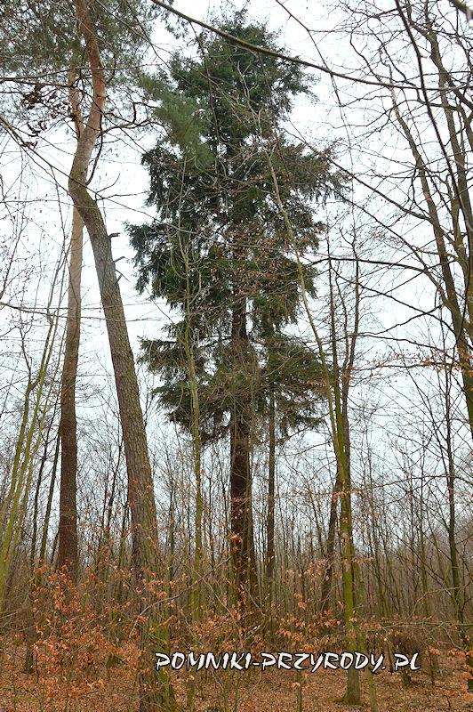 Stradomia Wierzchnia - pomnikowa daglezja zielona