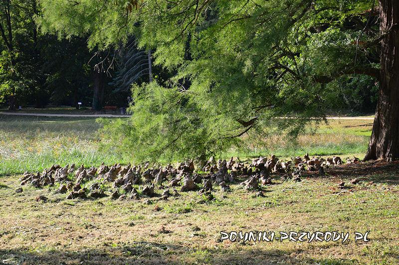 arboretum w Kórniku - pneumatofory pod koroną cypryśnika błotnego