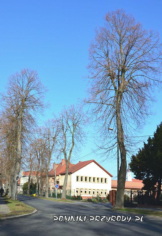 6. Pomnikowa aleja lipowa w Nowogrodźcu