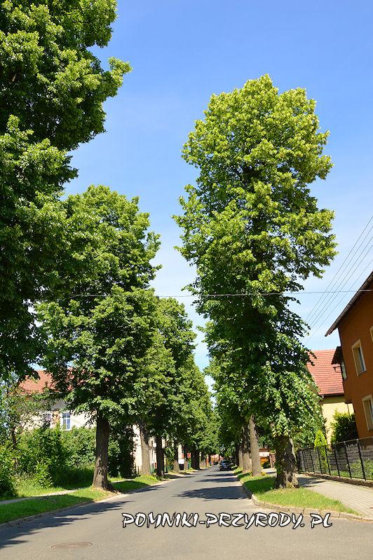 8. Pomnikowa aleja lipowa w Nowogrodźcu