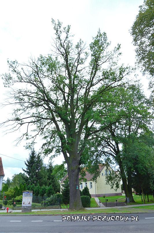 Nowogrodziec - pomnikowy dąb Chrobry latem