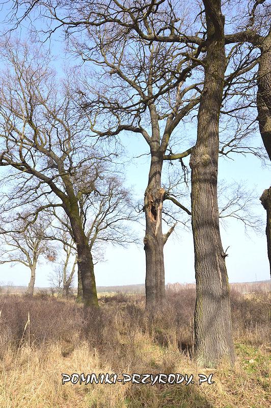 dęby w grupie drzew nr 1