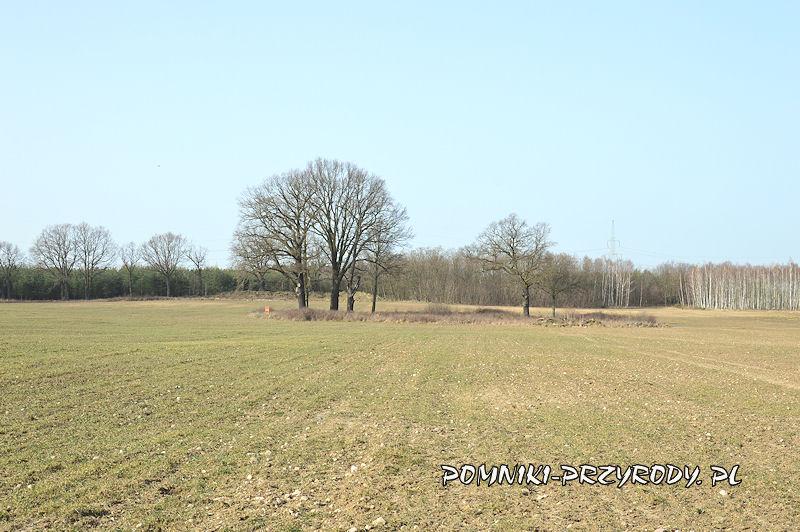 grupa drzew nr 2 - Zadrzewienie śródpolne Komorniki - Trzebcz