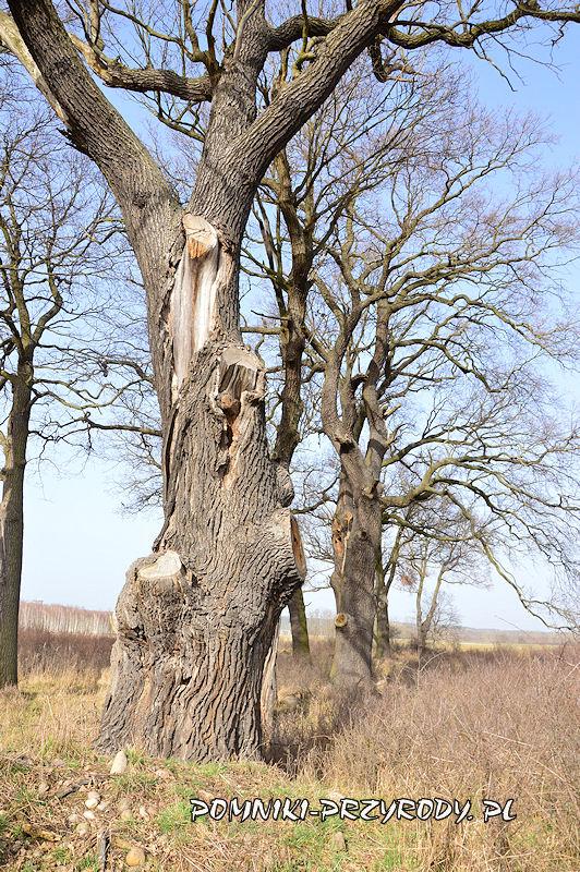 okazałe dęby w grupie drzew nr 1