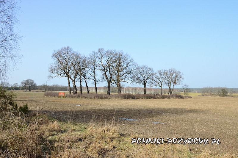 pomnikowa grupa drzew nr 1 - widok od południa