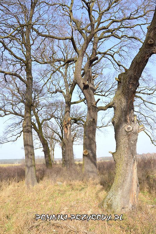 pomnikowe dęby w grupie drzew nr 1