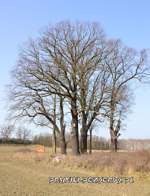 pomnikowe dęby w grupie drzew nr 2