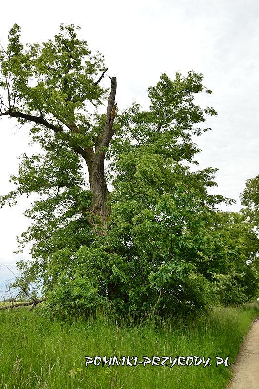 11. Radzowice - pomnikowa aleja lipowa latem