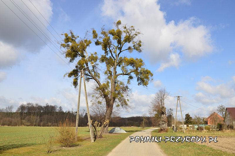 3. Radzowice - pomnikowa aleja lipowa