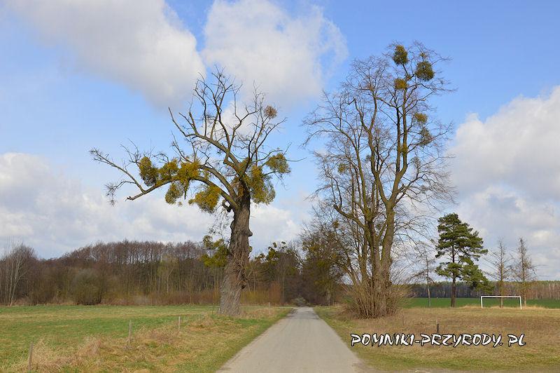 4. Radzowice - pomnikowa aleja lipowa