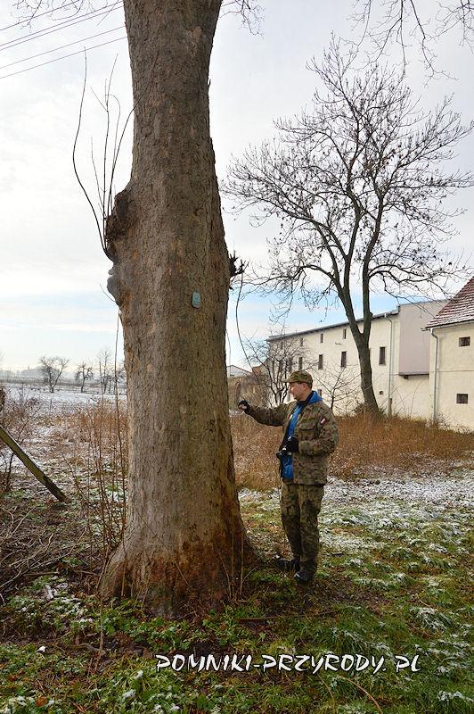 Księginice Wielkie - pień pomnikowego jawora zimą