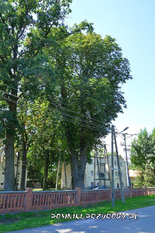 Księginice Wielkie - pomnikowy kasztanowiec latem