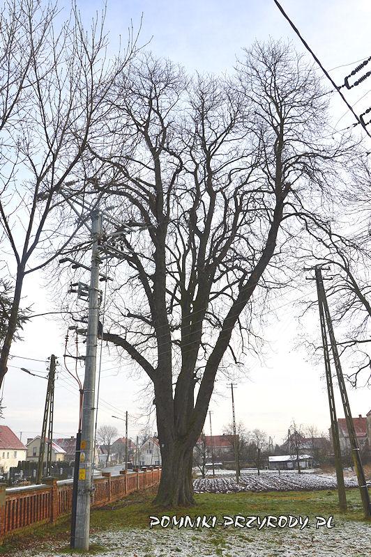 Księginice Wielkie - pomnikowy kasztanowiec zimą