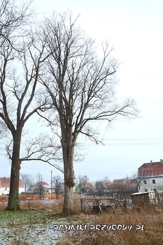Księginice Wielkie - pomnikowy klon jawor zimą