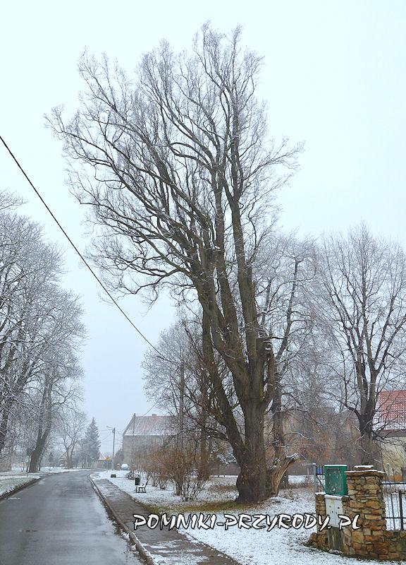 Prusy - dąb w odmianie stożkowej zimą