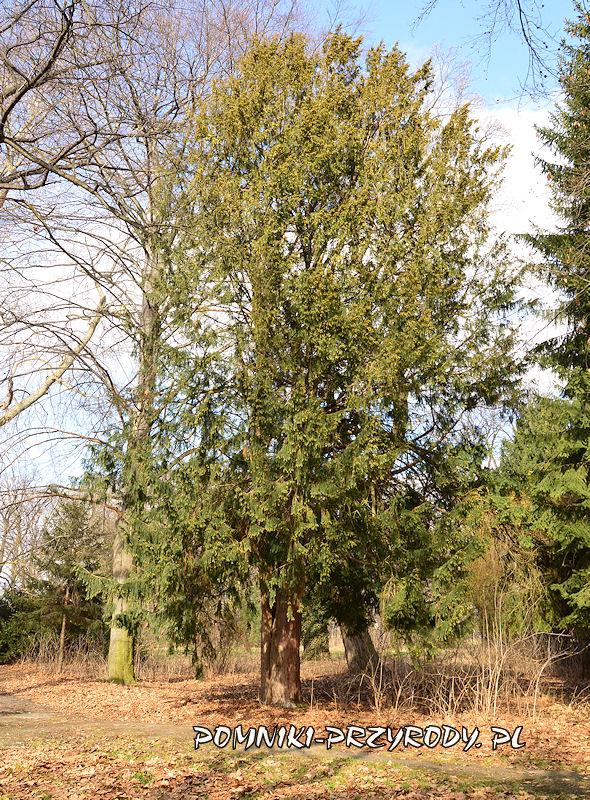 Przerzeczyn-Zdrój - pomnikowy cis nr 1 zimą