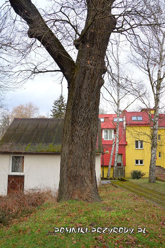 Przerzeczyn-Zdrój - pomnikowy dąb na tle sanatorium