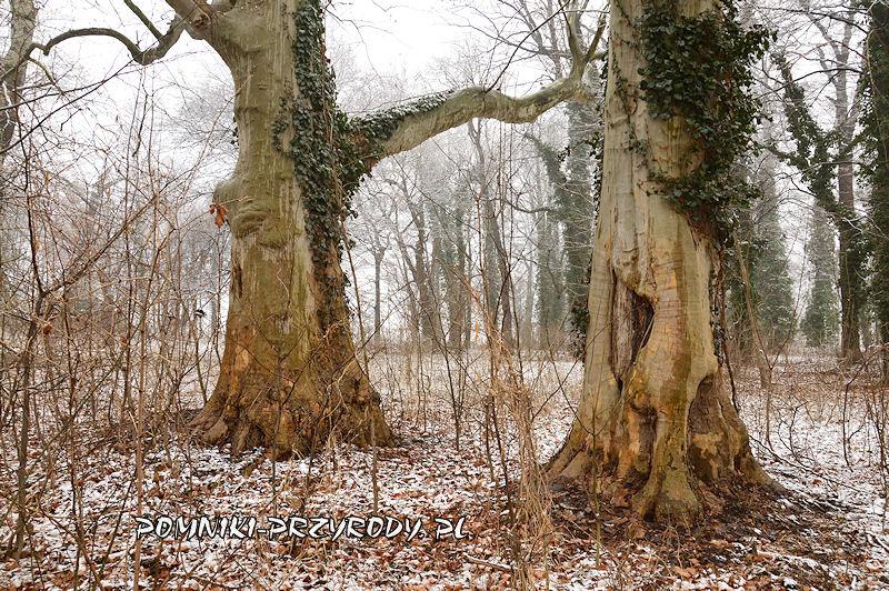 park w Prusach - okazałe platany zimą