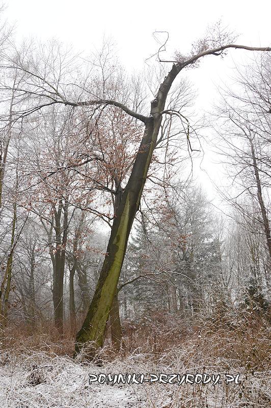 park w Prusach - pomnikowy buk