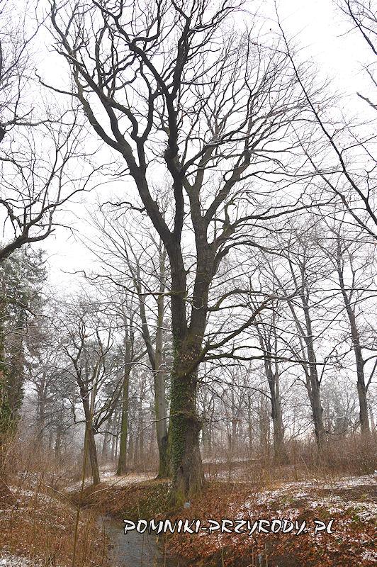 park w Prusach - pomnikowy dąb w zachodniej części parku