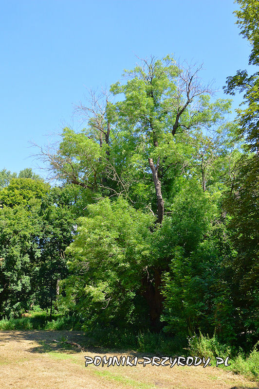 park w Prusach - pomnikowy jesion latem