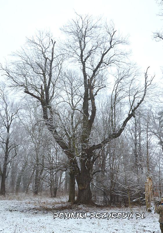 park w Prusach - pomnikowy jesion wyniosły