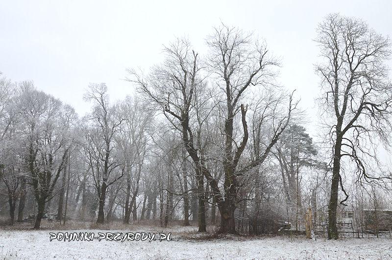 park w Prusach - pomnikowy jesion zimą