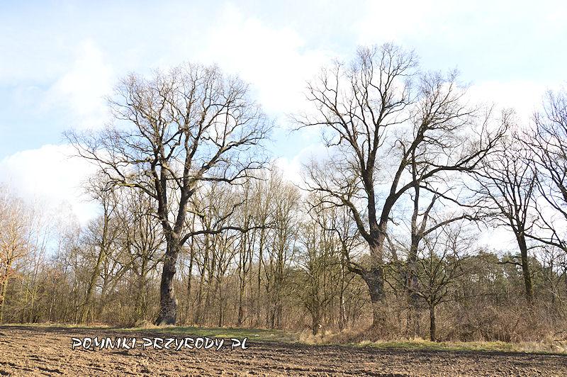 pomnikowe dęby Strażnicy Lasu