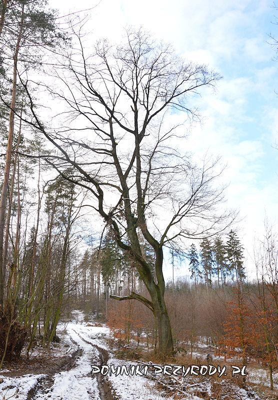 pomnikowy dąb rosnący w pobliżu wsi Nieszkowice
