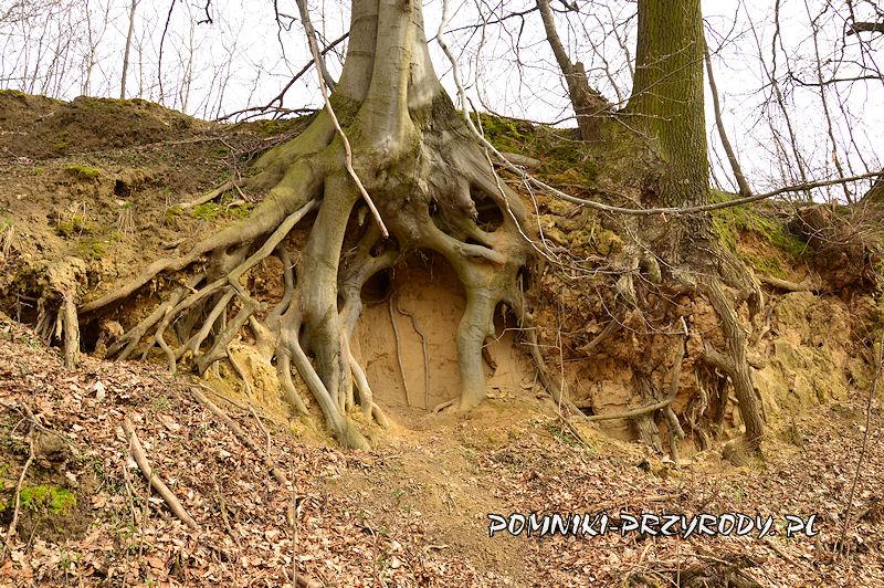 Boleścin - odsłonięte korzenie drzew w wąwozie lessowym