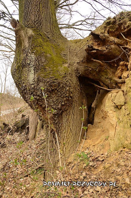 korzenie drzew w wąwozie lessowym