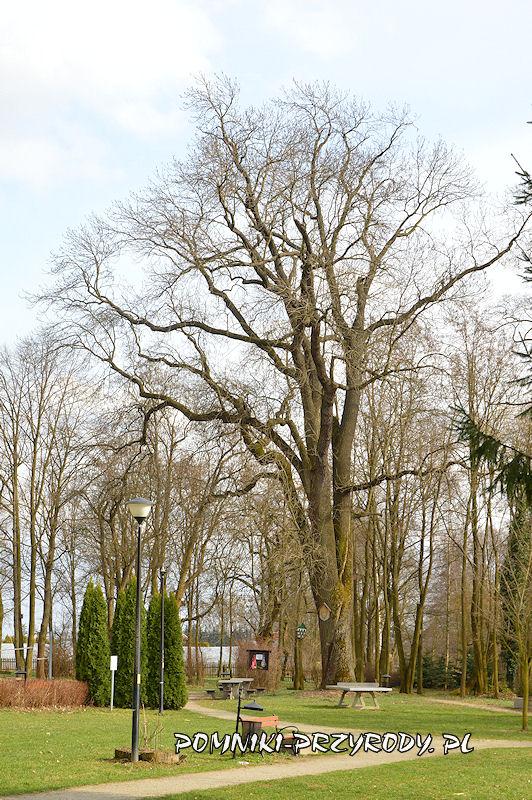 park w Godzieszowej - okazały jesion