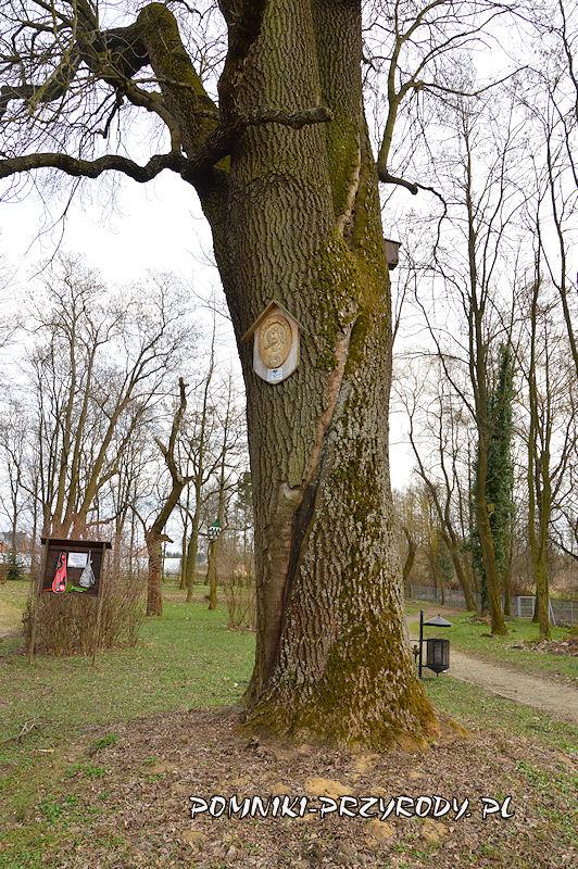 park w Godzieszowej - pień okazałego jesionu