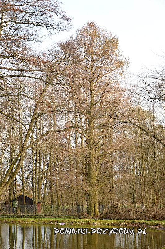 park w Godzieszowej - pomnikowy cypryśnik błotny