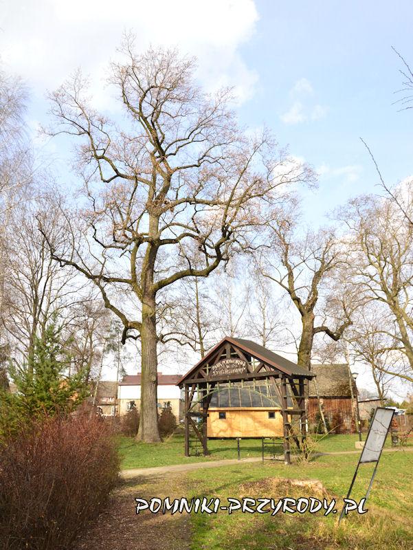 park w Godzieszowej - pomnikowy tulipanowiec przy bramie parkowej
