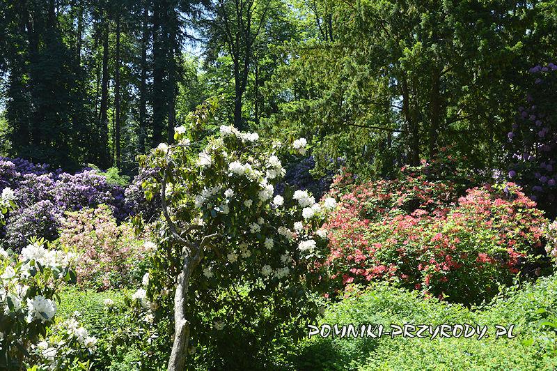 Polanica-Zdrój - pomnikowe skupisko krzewów różanecznika
