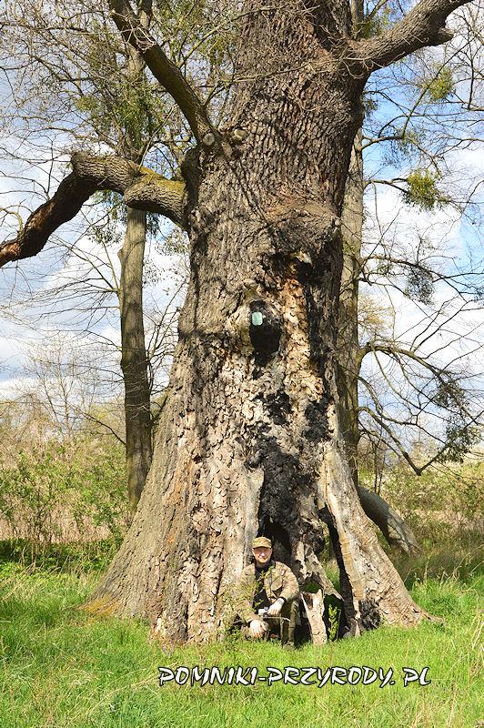 Zakrzewo - pień pomnikowego dębu o obwodzie 620 cm