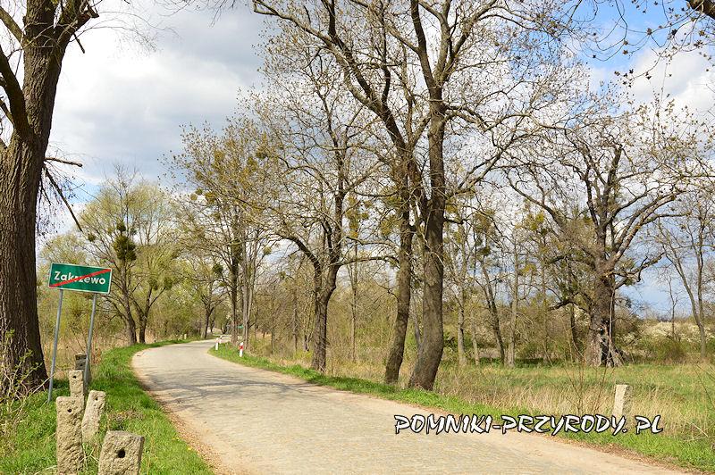 Zakrzewo - północny skraj wsi z pomnikowymi dębami